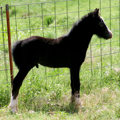 For Sale Welsh Pony