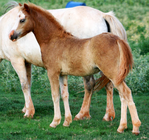 Welsh Section A Mountain Pony Filly