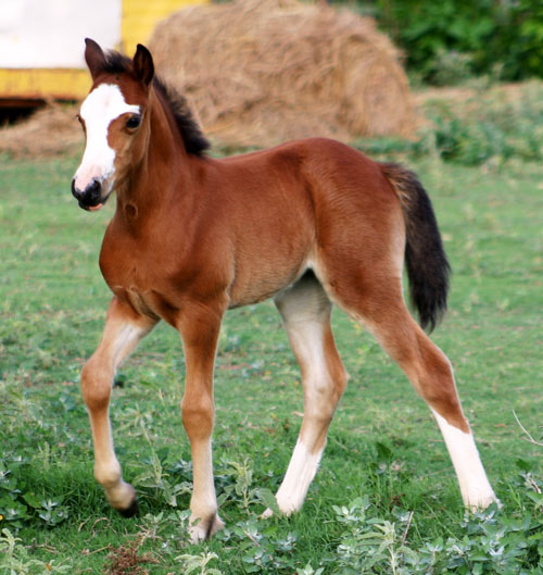 Heavenly East of Eden Section C Welsh Cob Filly