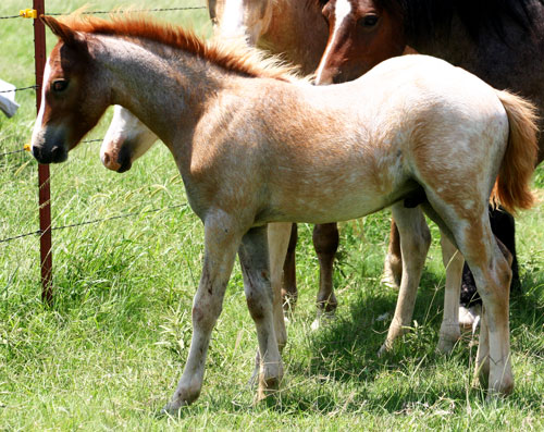 Heavenly Dion, welsh pony colt foal