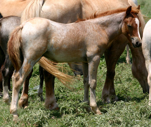 Welsh Pony Foal For Sale