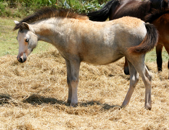 Welsh Pony Filly