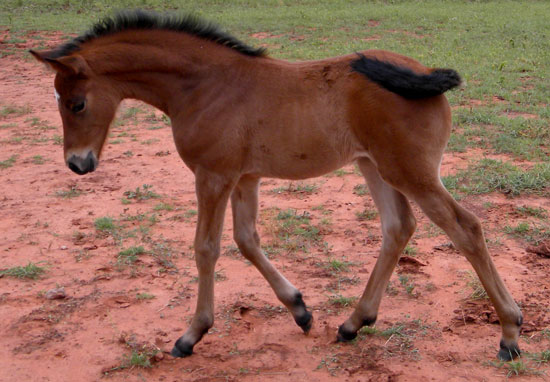 Irish Independance as a foal